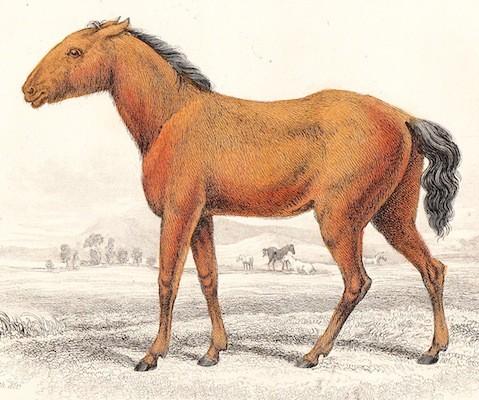 Рисунок тарпана