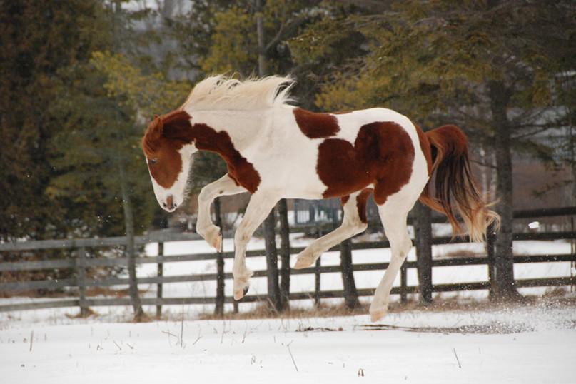 Лошадь пинто скачет