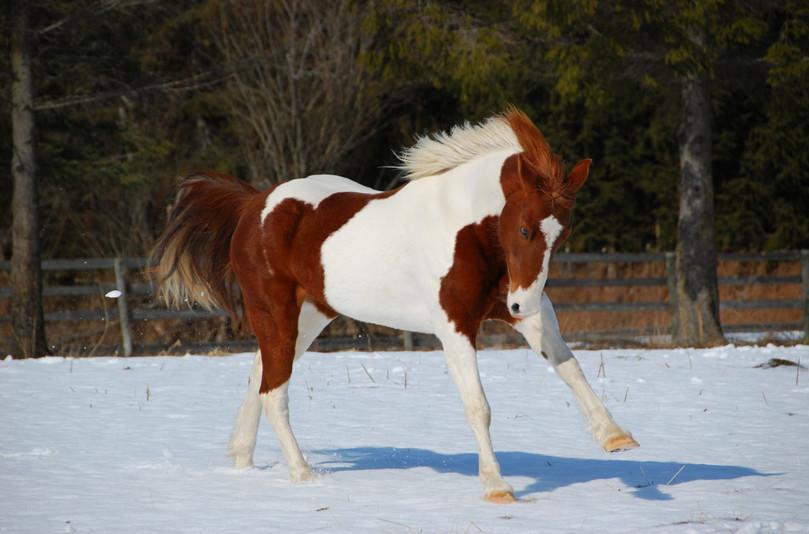 Лошадка пинто фото