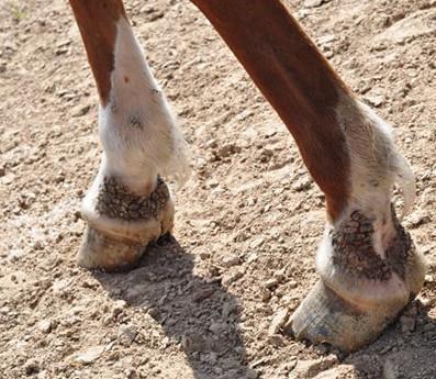 Мокрецы у лошади 1