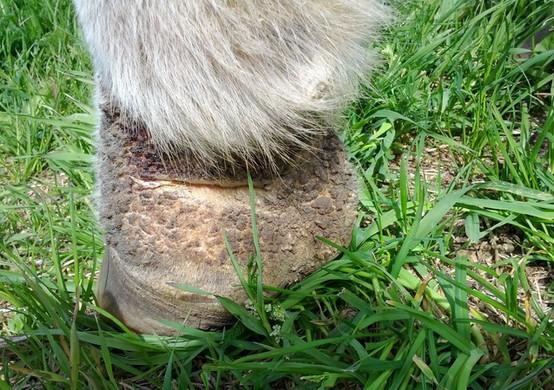 Мокрецы у лошади на копытах