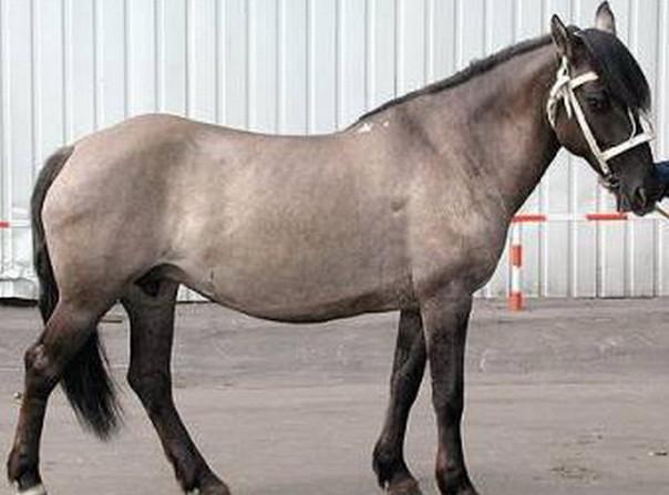 Мышастая масть лошади 3