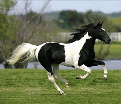 Пинто лошадь на фото