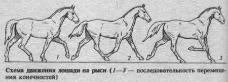 Рысь лошади  на схеме