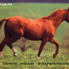 Лошади — парнокопытные или нет?